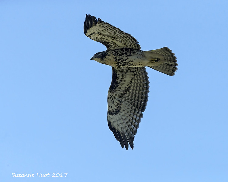 Red-tailed Hawk juvenile in flight.