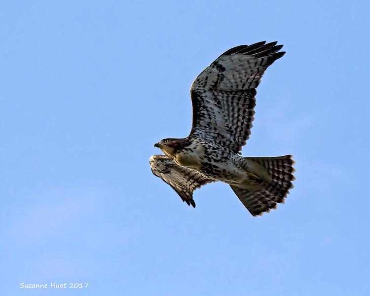 TThe Hawklet  is becoming quite skilful in flight