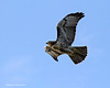 TThe Hawklet  is becoming quite skilful in flight