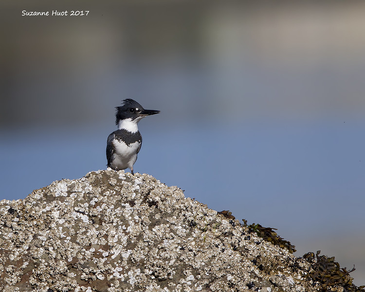 Belted kingfisher female.