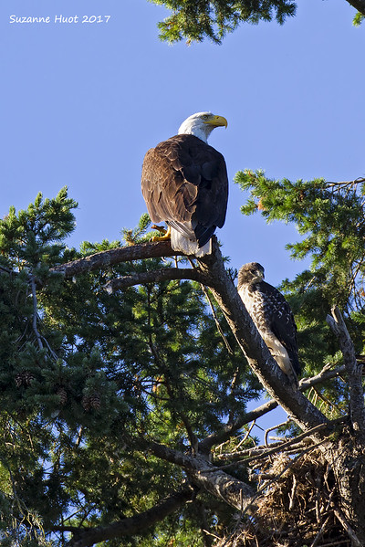 Hawklet sharing branch with adoptive bald Eagle parent.