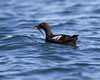 Pigeon Guillemot with catch.