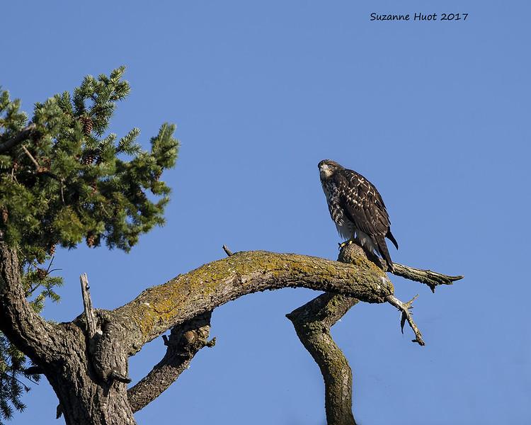 Ret-tailed  hawk