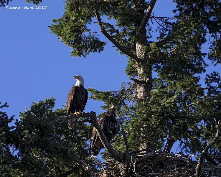 Parent with Eaglet.