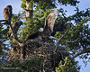 Eaglets are hoping that the adult had brought in some food to the nest