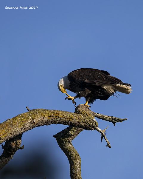 Eagle  Pedicure .