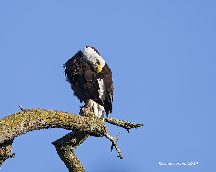 Bald Eagle parent grooming.