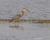 Great-blue heron with snack