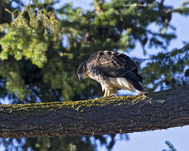 Young Red-tailed hawk.