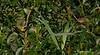 Yellowthroat Warbler