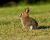 Very young cotton tail rabbit