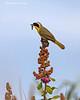 Yellowthroat warbler   male