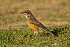Juvenile  North American Robin
