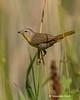 Yellowthroat  warbler  female