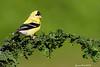 American Goldfinch.male.