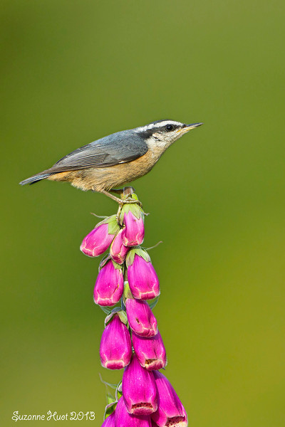 Red-Breasted Nuthatch on Foxglove.