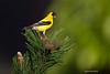 North American Goldfinch in breeding plumage.