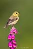North American Goldfinch ,female.