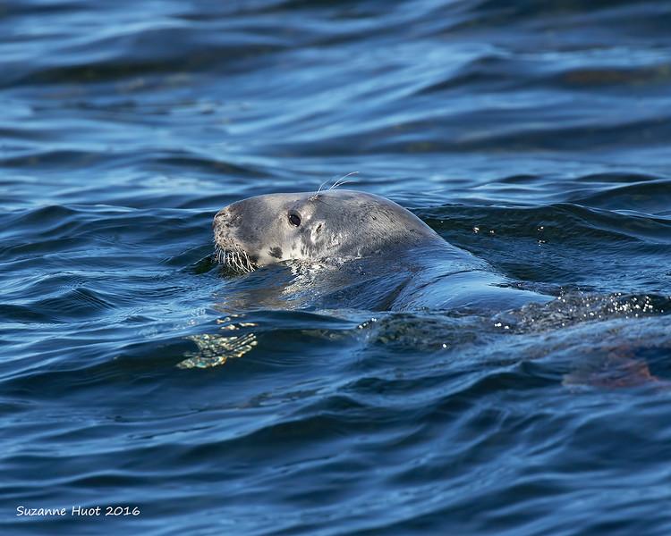 Atlantic Grey Seal. Cape Breton.