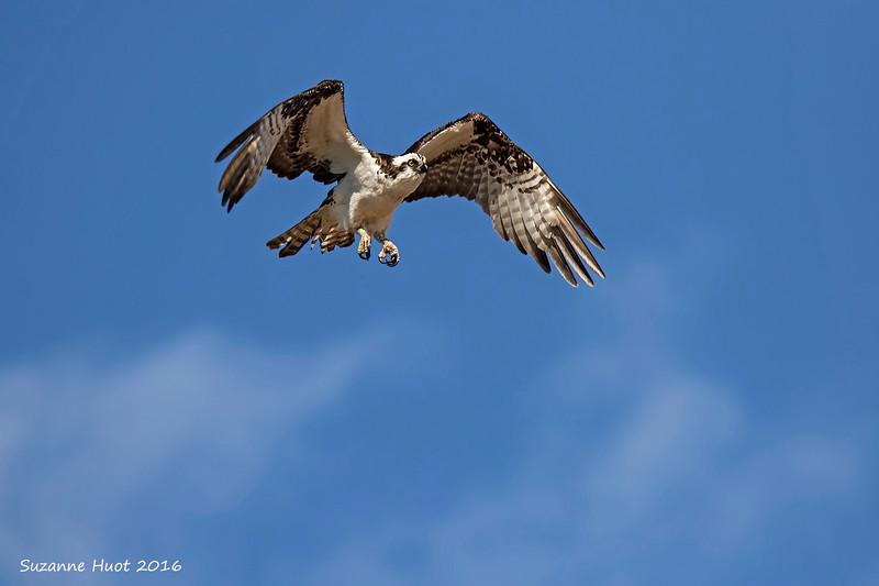 Osprey in hunting mode.