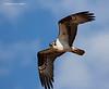 Osprey hunting.
