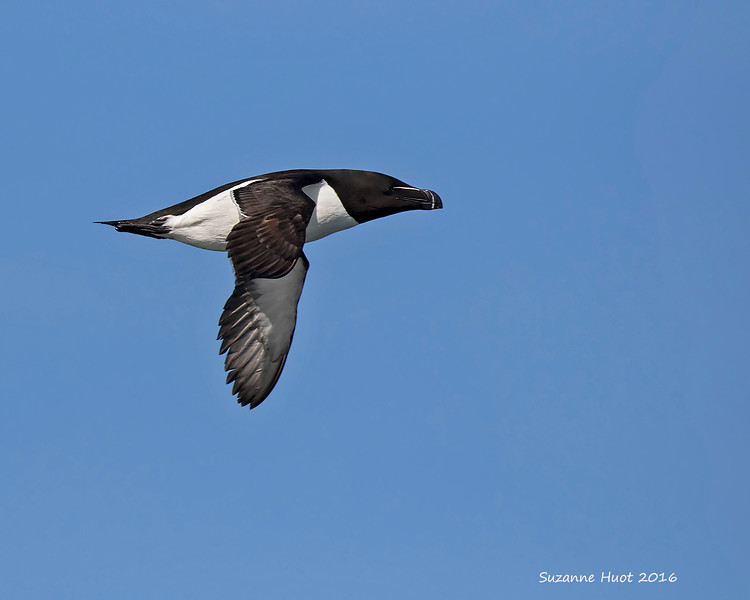 Razerbill in flight. Isle Bonaventure . P.Q