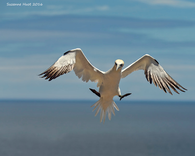 Northern Gannet ,coming in on a wing and a prayer