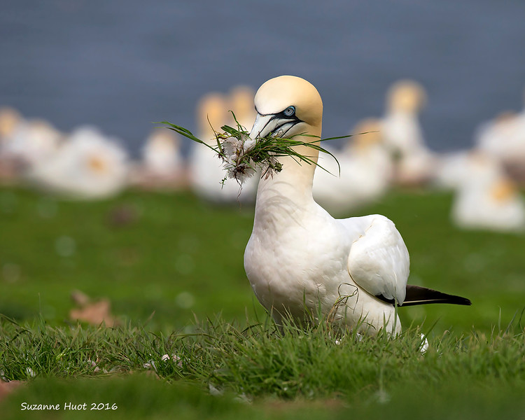 Northern Gannet collecting nesting material.