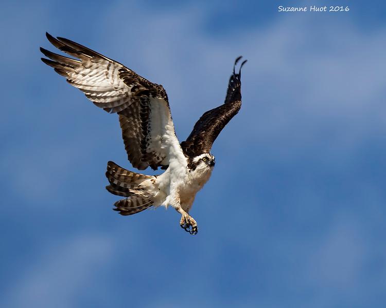Osprey action
