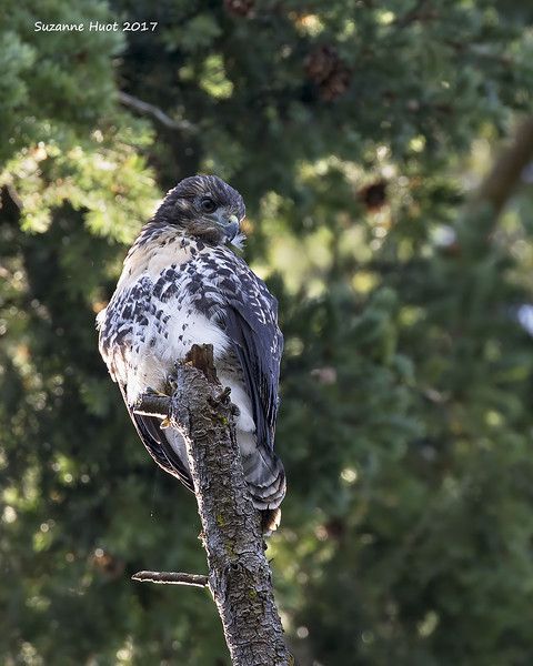 Red-tailed Hawk chick reared by Eagles.