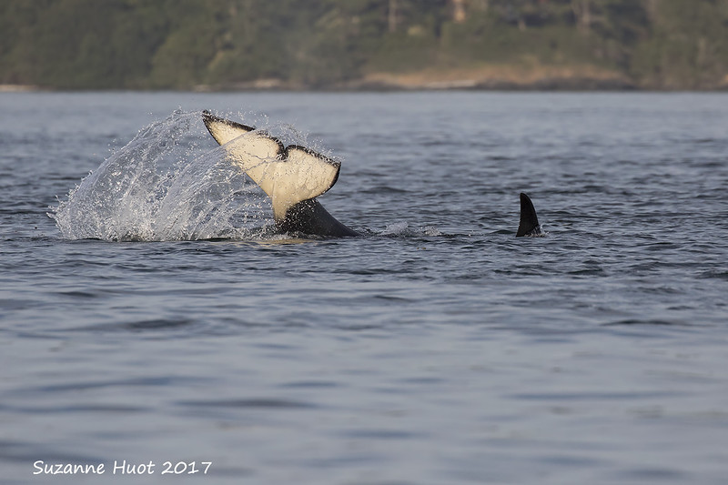 Fishing techniques of a  resident Orca.