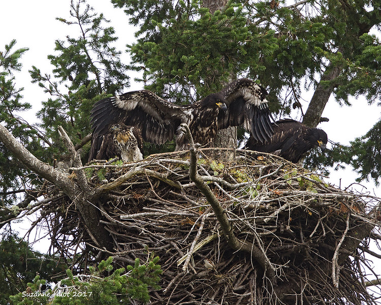 Red-tailed hawk and Eagle  chicks