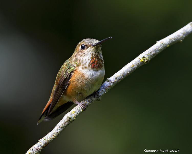 Rufous hummingbird  juvenile.