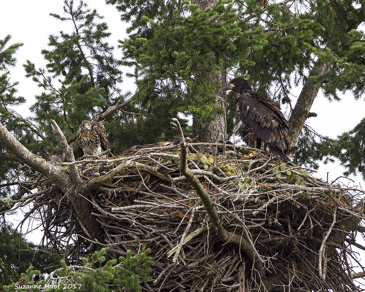 Red-tailed hawk chick and Eagle chick