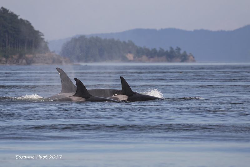 Transient Orca pod