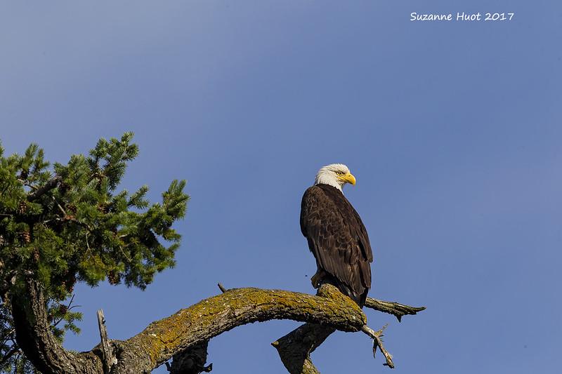 bald Eagle parent