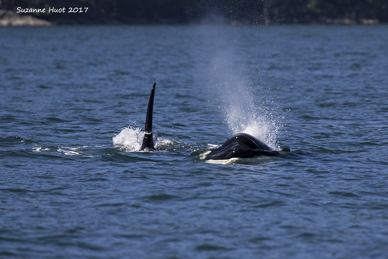 Transient Orca's