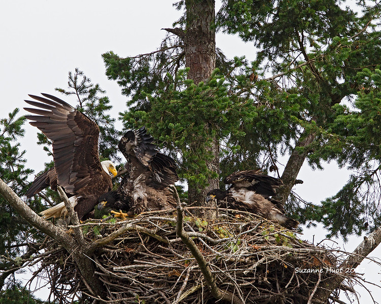 Feeding time for the Eagle family