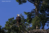 Bald Eagle   guarding nest.
