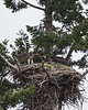 Red-tailed Hawk chick branching