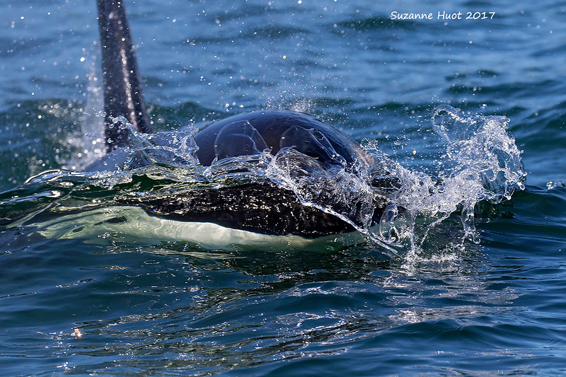 Close encounters with Transient Orca.
