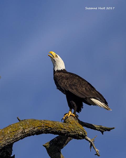 Bald Eagle calling mate.