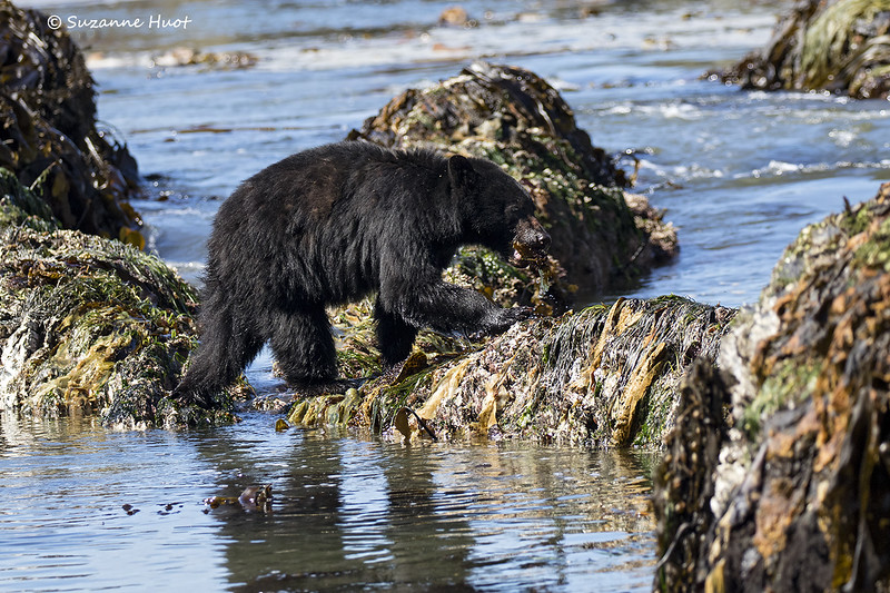 Black bear with sea urchin snack