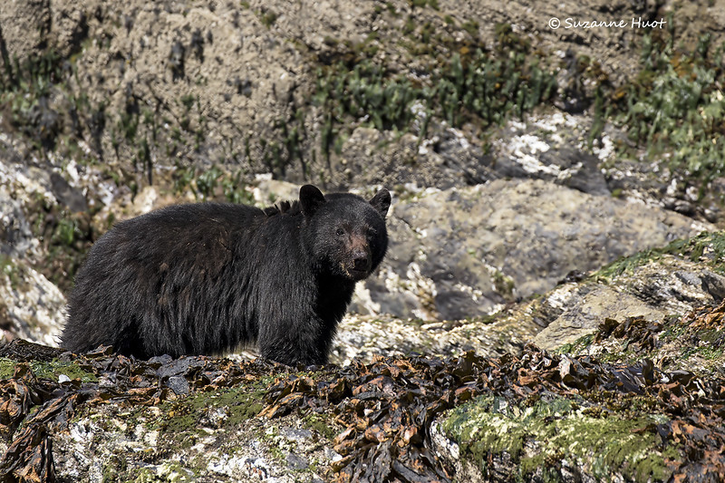 Black bear  scavenging on the rocks at low tide