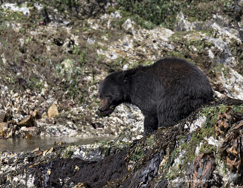 Black bear with Sea Urchin