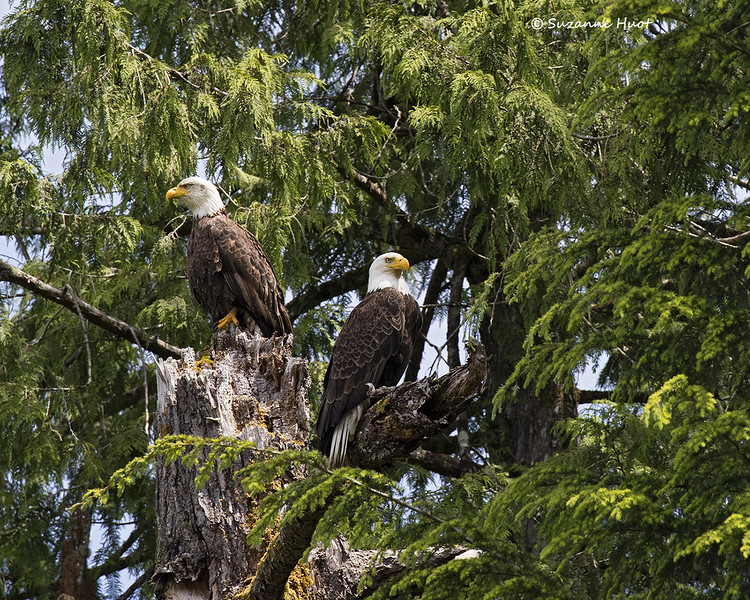 Bald Eagle mated pair.