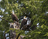 Bald Eagle mated pair.