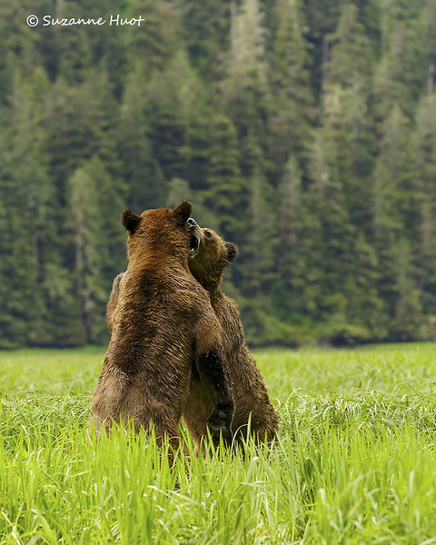 Two young male bears play fighting.