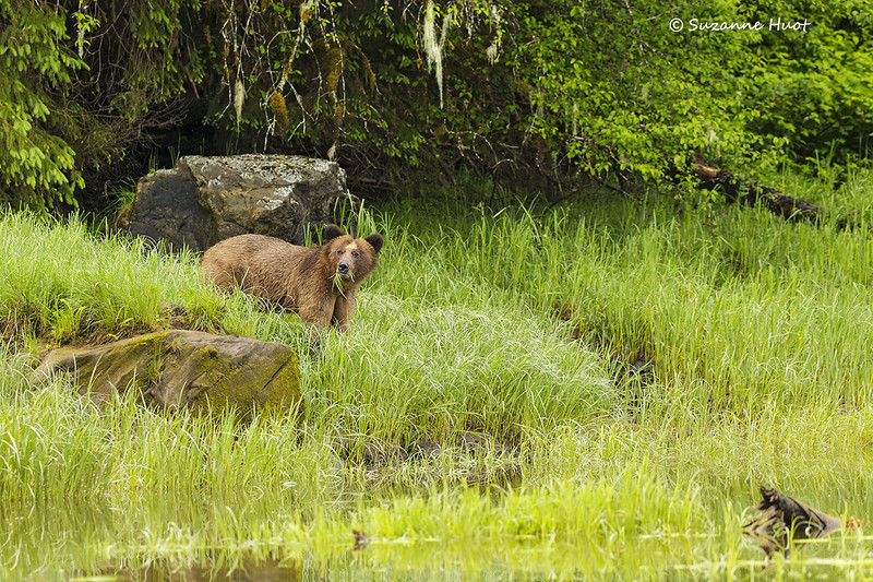 Grizzly Bear dining on sedge grass
