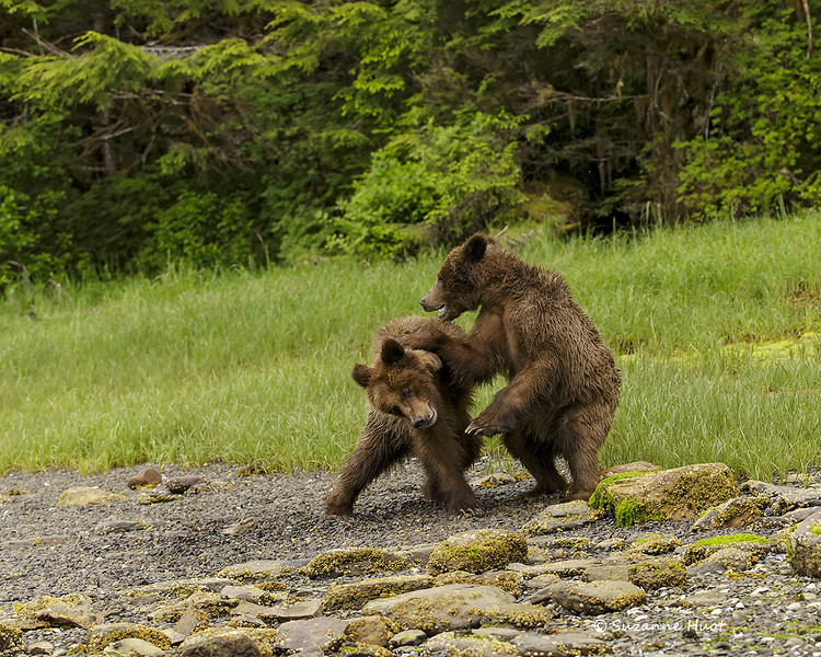 Playful young Grizzly brothers .